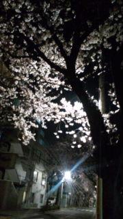 元町の夜桜
