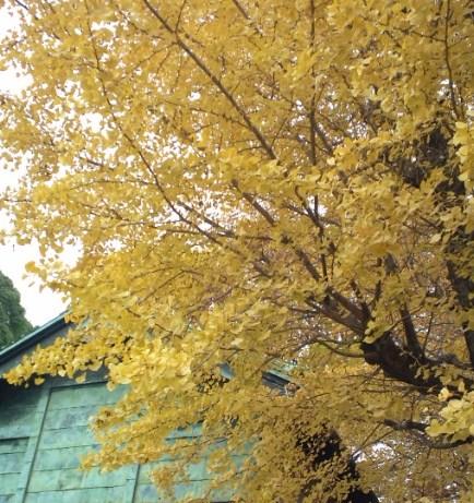 氷川神社のいちょう