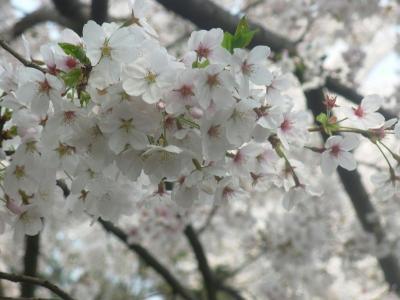 2011年の桜3