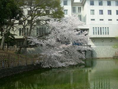 2011年の桜1