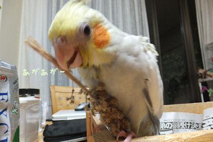 20110601awaho.jpg