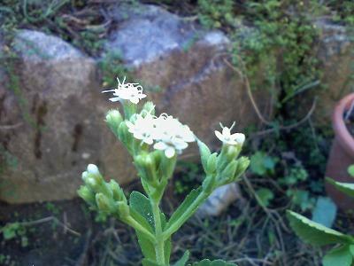 ステビアの花