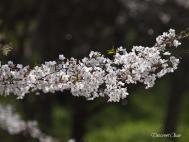小国神社 桜