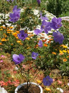 blue_hibiscus02.jpg