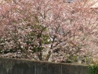 4月6日の桜
