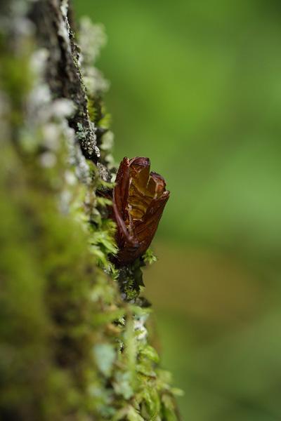 キタスカシバ蛹殻