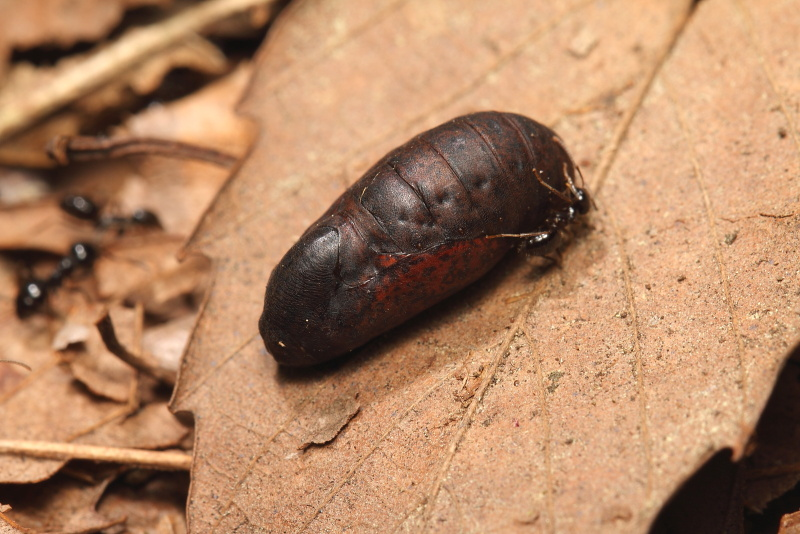 ムモンアカシジミ蛹