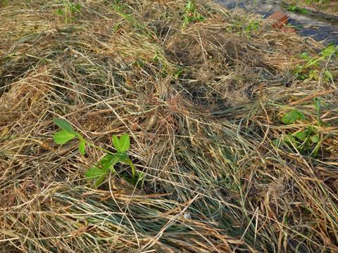 刈り草でマルチ