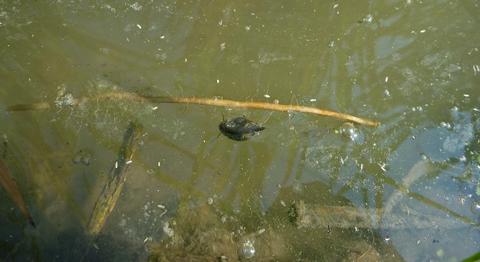タニシの背泳