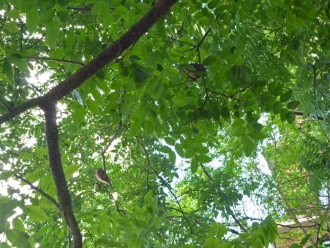 街路樹にいたスズメ?