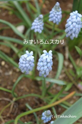 mizuiromusukari12-01