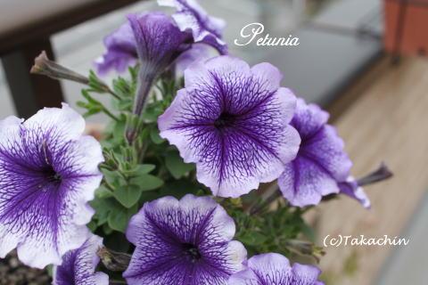 petunia12-01