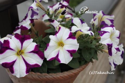 petunia12-02