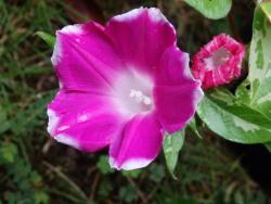 PA013568朝顔 まだ頑張って咲いています
