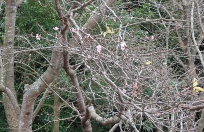 PA123957さくらの木