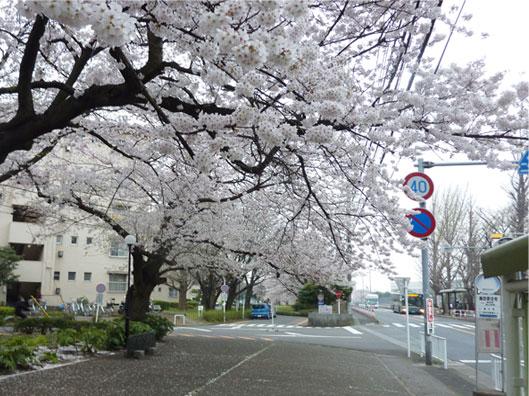 2011dantisakura.jpg