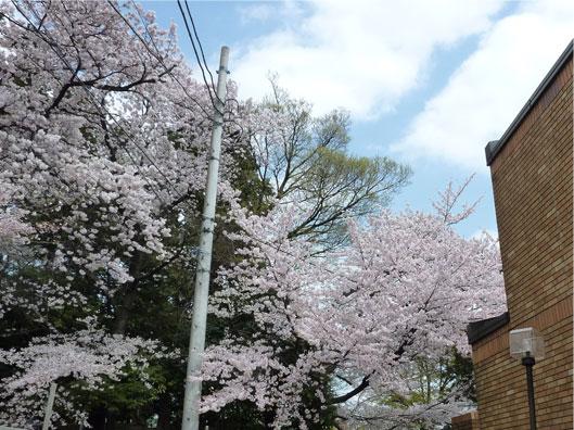 2011sakura_20110410154131.jpg