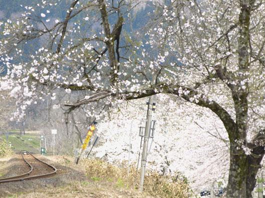 aidunosakura_20110507210445.jpg