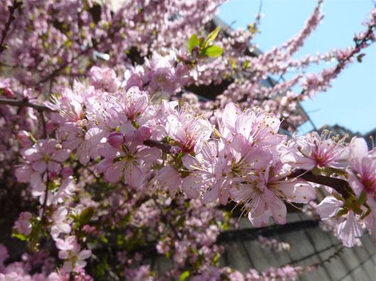 sakurakanaa.jpg