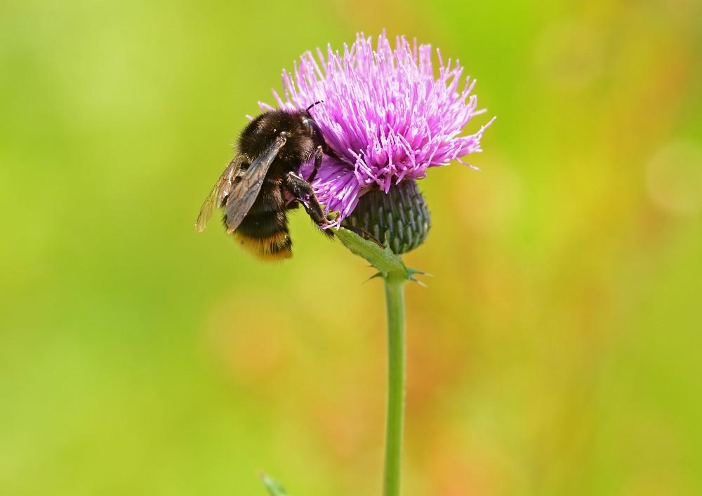 アザミに留まる蜂