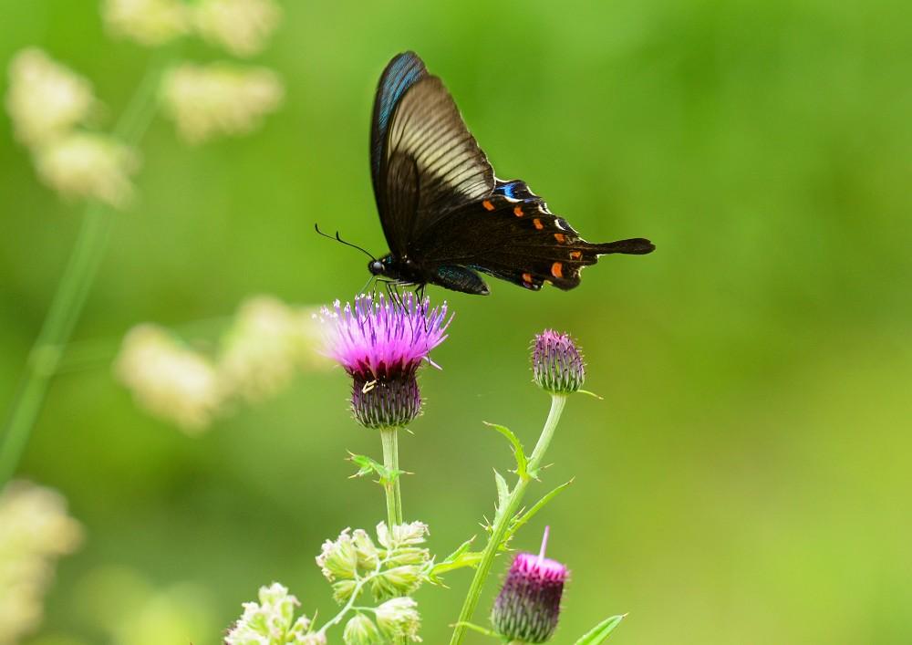 アザミに留まる蝶
