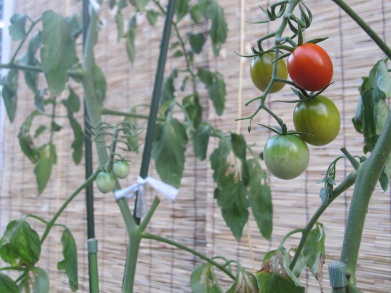 我が家のプチトマト