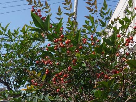 ハナミズ木⑦