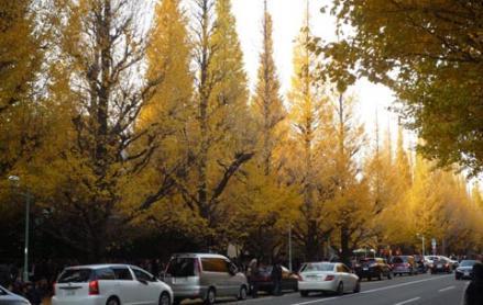 外苑前の銀杏並木⑤