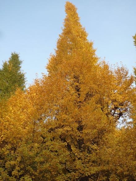 外苑前の銀杏並木④