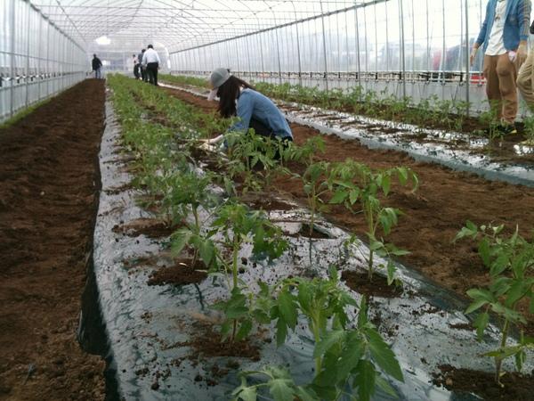 トマトの植え付け2