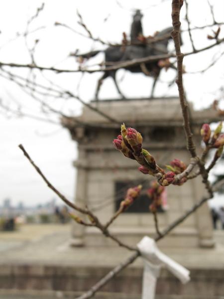 仙台城の桜