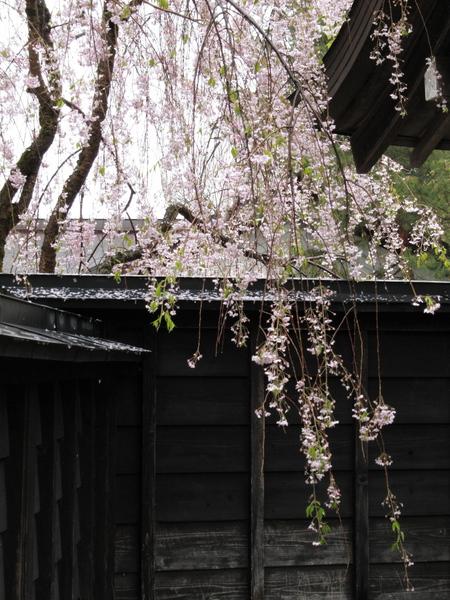 角館・武家屋敷のしだれ桜2