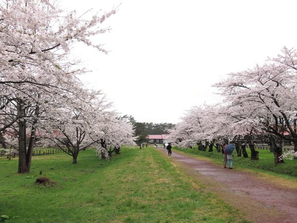小岩井農場の桜1