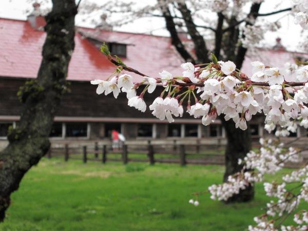 小岩井農場の桜2