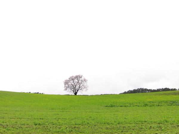 小岩井農場の一本桜2