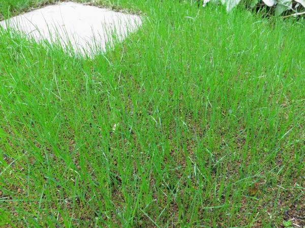 西洋芝成長記録(種まき18日目)2