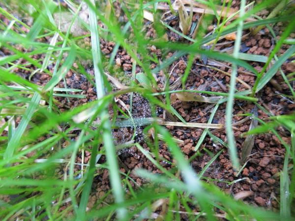 西洋芝成長記録(種まき18日目)7