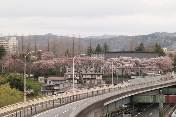 西公園の川向こうの桜