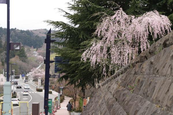 西公園の一角の枝垂桜