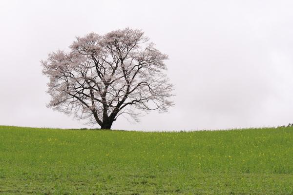 小岩井農場の一本桜1