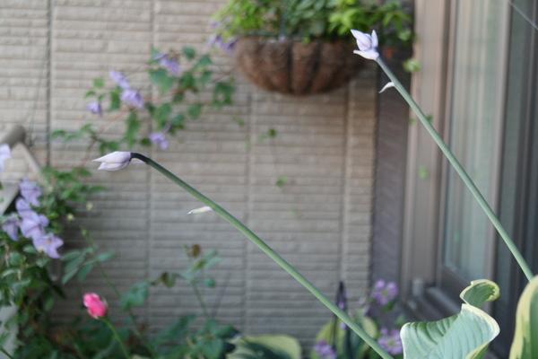 サガエの花