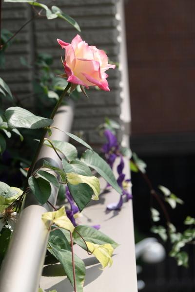 覆輪のバラとジャックマニー