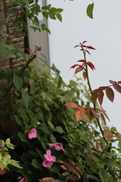 膨らみ始めたバラの蕾2