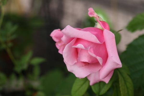 ピンク 1