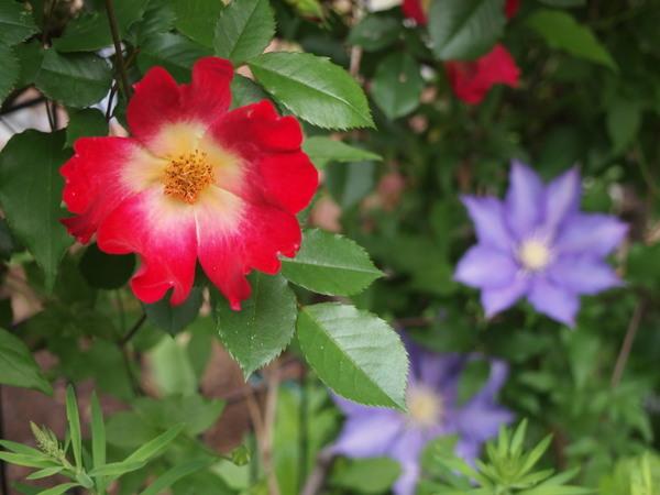 5月9日の庭 4