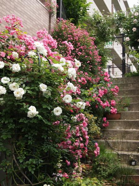 階段のバラ