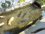 津和野の鯉