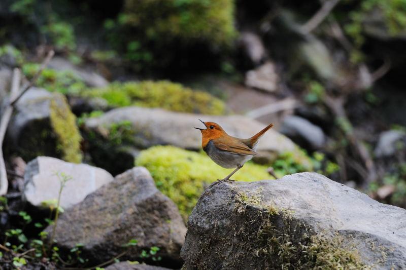 DSC_4755-240520八岳の滝コマドリ-B