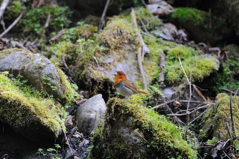 DSC_4815-240520八岳の滝コマドリ-B