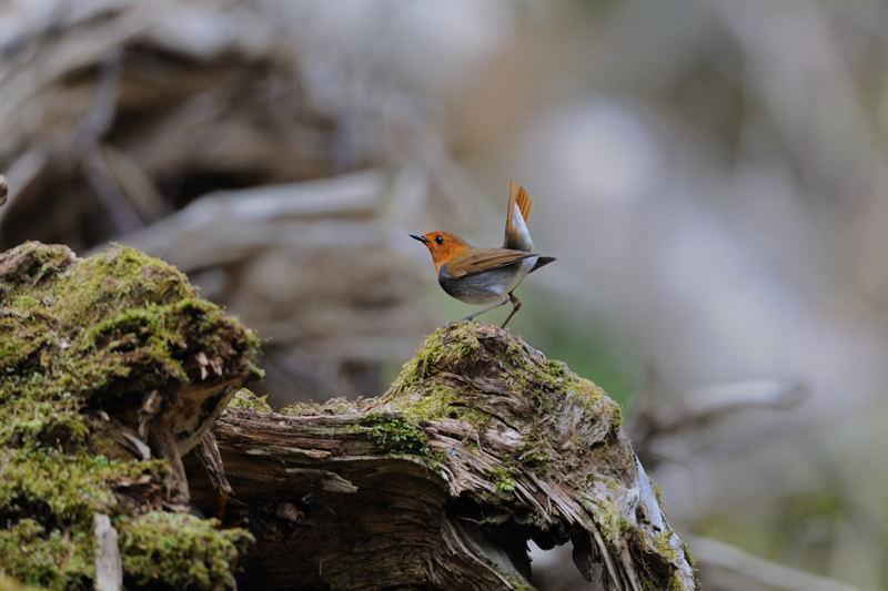 DSC_4918-240520八岳の滝コマドリ-B